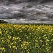 Summer Storm Clouds Over A Canola Field Poster