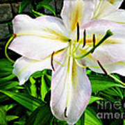 Summer White Madonna Lily Poster