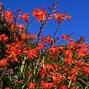 Montbretia, Summer Wildflowers Poster