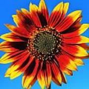Summerflower Poster