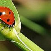 Sunbathing Ladybug Poster
