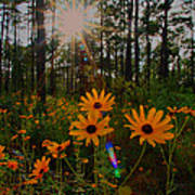 Sunburst On Sunflowers Poster