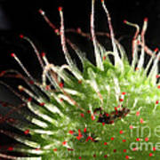 Sundew Eating A Fly Poster