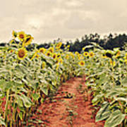 Sunfllower Farm Poster