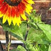 Sunflower 3 Sf3wc Poster