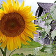 Sunflower And Barn Poster