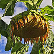 Sunflower At Fall Poster