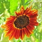 Sunflower Beauty Poster