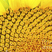 Sunflower Closeup Poster