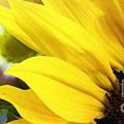 Sunflower Closeup In Landscape Poster