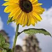Sunflower In Balboa Park Poster