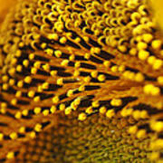 Sunflower Macro Poster