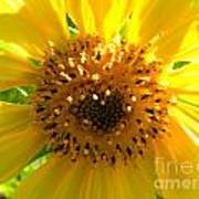 Sunflower No.10 Poster