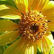 Sunflower No.11 Poster