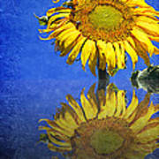 Sunflower Reflection Poster