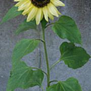 Sunflower Stalk  Poster