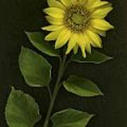 Sunflower With Rocks Poster