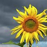 Sunflowers Helianthus Annuus Poster