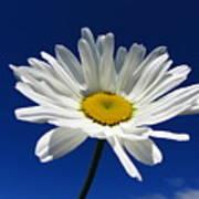 Sunlight Daisy Poster