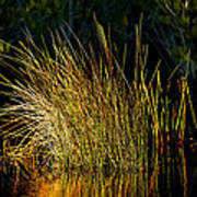 Sunlight On Grass Merritt Island Nwr Poster