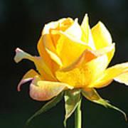 Sunlight On Yellow Rose Poster