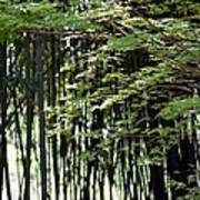 Sunlit Bamboo Poster