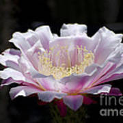 Sunlit Cactus Flower Poster
