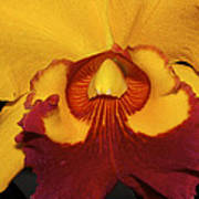 Sunny Yellow Orchid Poster