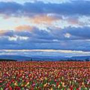 Sunrise Over A Tulip Field At Wooden Poster