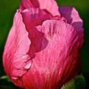 Sunrise Pink Poster