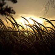 Sunset Behind Tall Grass Poster