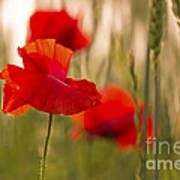 Sunset Poppies. Poster