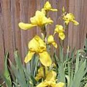 Sunshine Bright Yellow Iris Poster