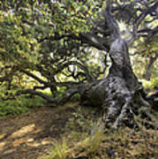 Sunstar Oak Poster