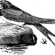 Swallow, C1800 Poster