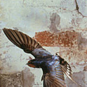 Swallow In Flight Poster