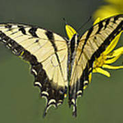 Swallowtail And Friend Poster