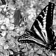 Swallowtail Butterfly And Plum Blossoms Poster