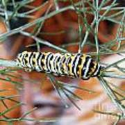 Swallowtail Caterpillar Poster