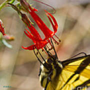 Swallowtail On Scarlet Gilia Poster