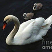 Swan Family 1 Poster