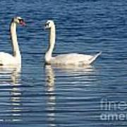 Swan Mates Poster by Sabrina L Ryan