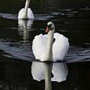 Swan Pair 2 Poster