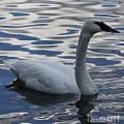 Swan Watching Poster