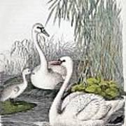 Swans, C1850 Poster