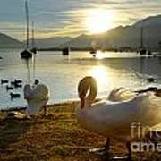 Swans In Sunset Poster