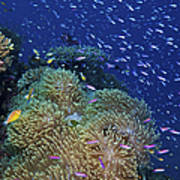 Swarms Of Small Baitfish Swim Poster