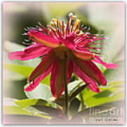 Sweet Dreams Passion Flower Poster
