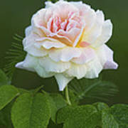 Sweet Morning Peace Rose Poster