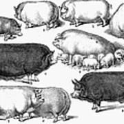 Swine, 1876 Poster by Granger